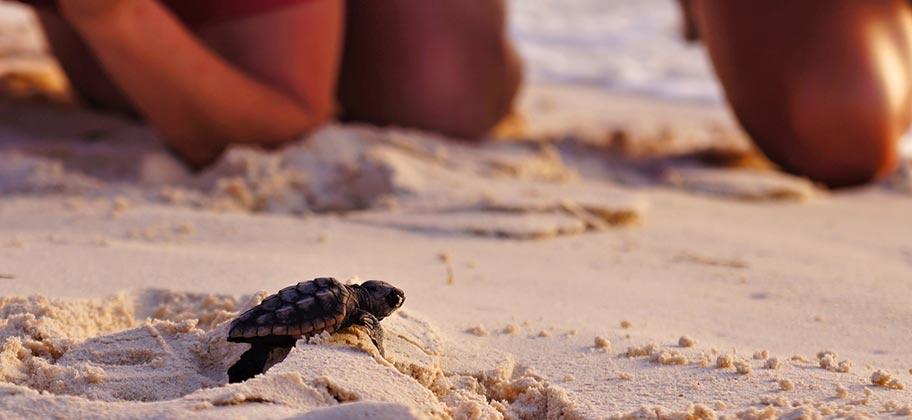 st. lucia schildkröte strand beobachtungen buchen schweiz